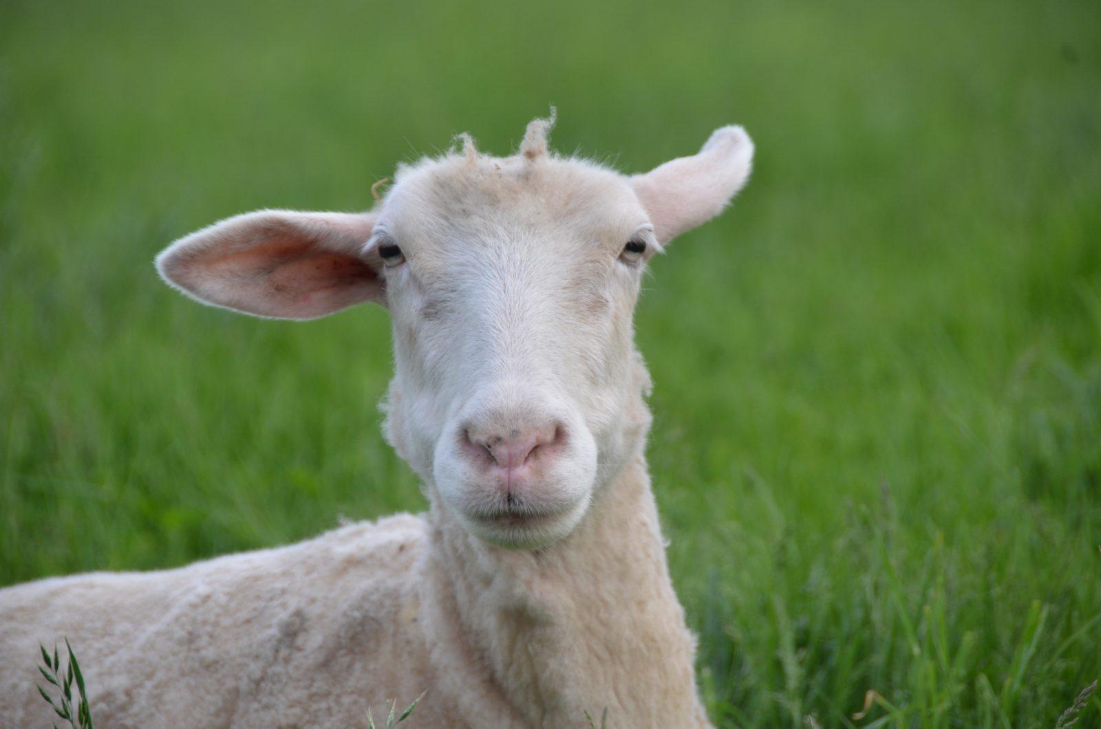 Samantha sheep at Farm Sanctuary