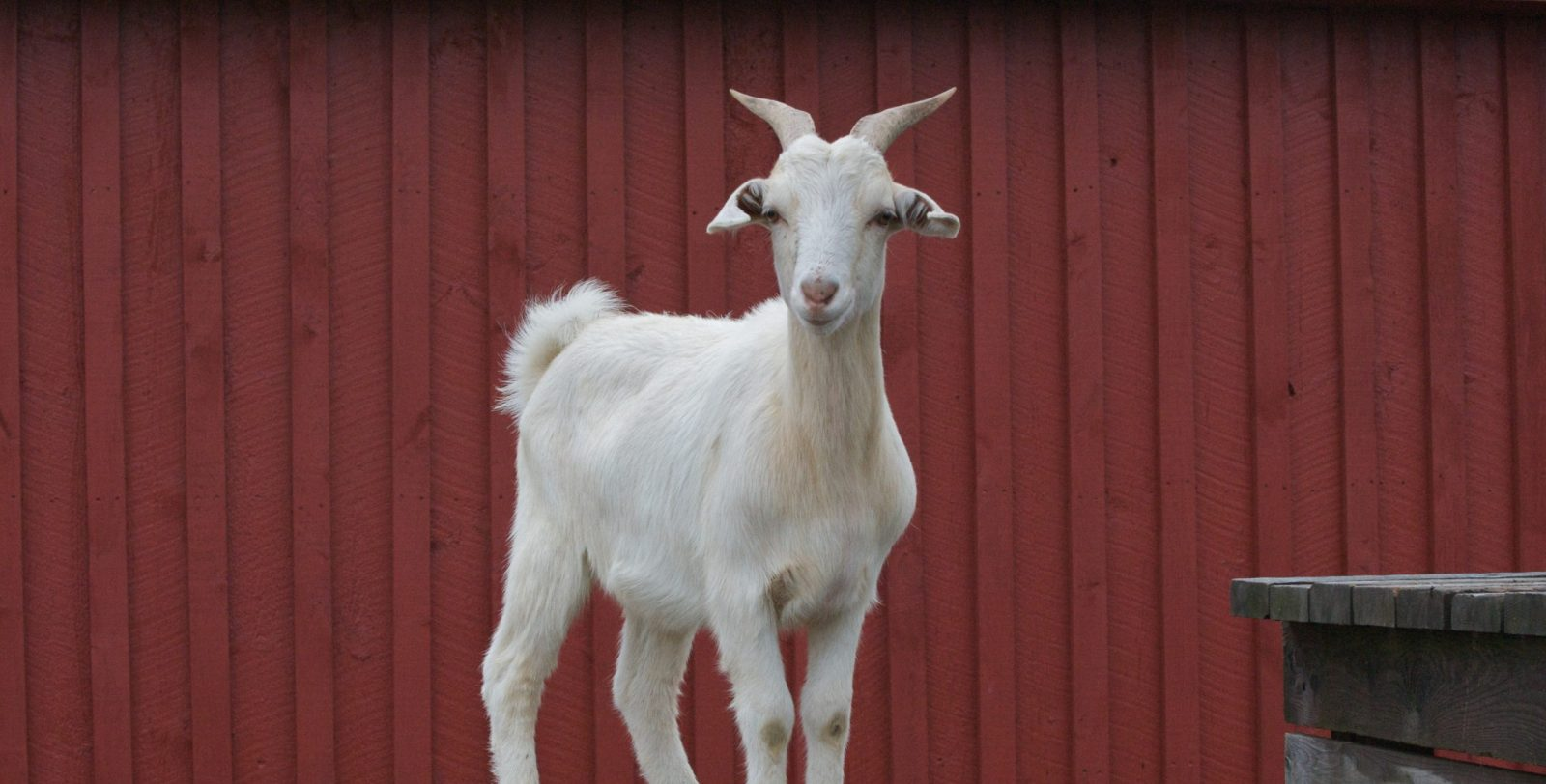 Jim goat at Farm Sanctuary