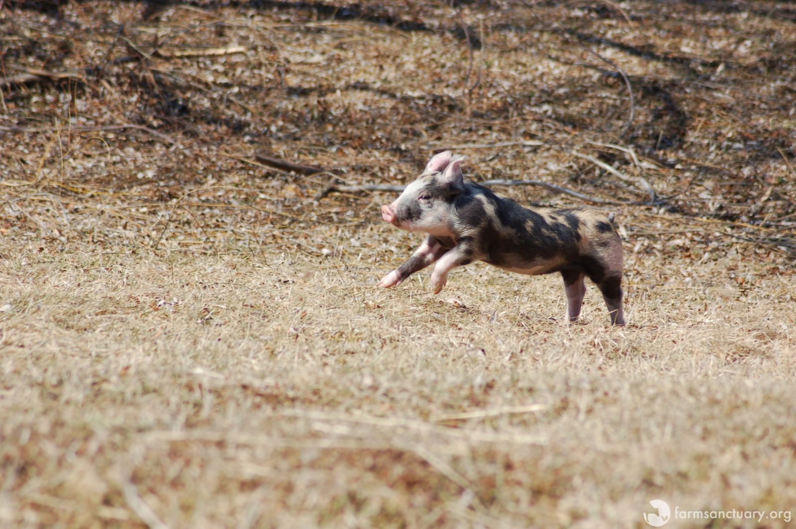 Fiona piglet leaping at Farm Sanctuary