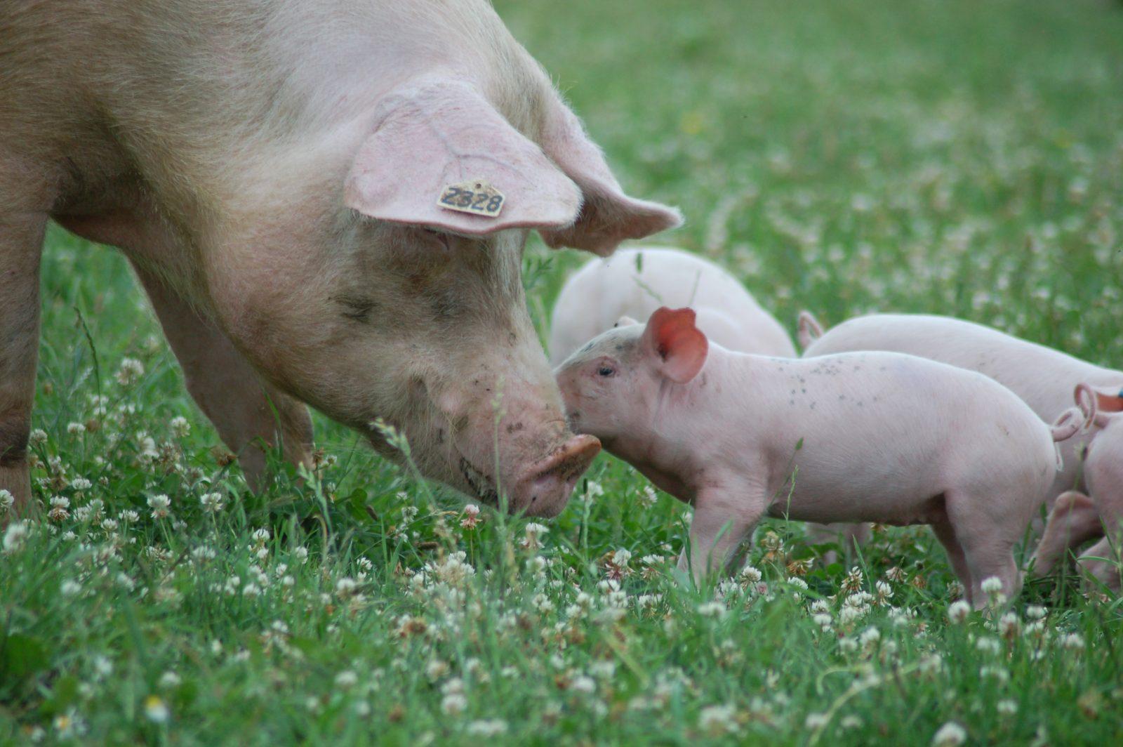 Nikki and piglets at Farm Sanctuary