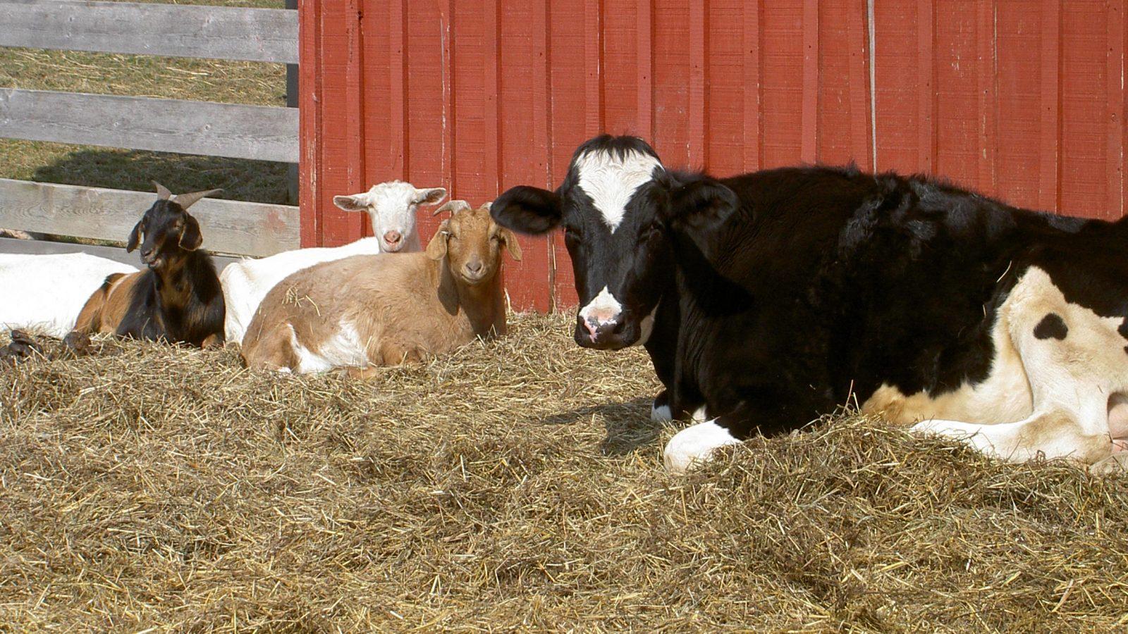 Linda cow at Farm Sanctuary