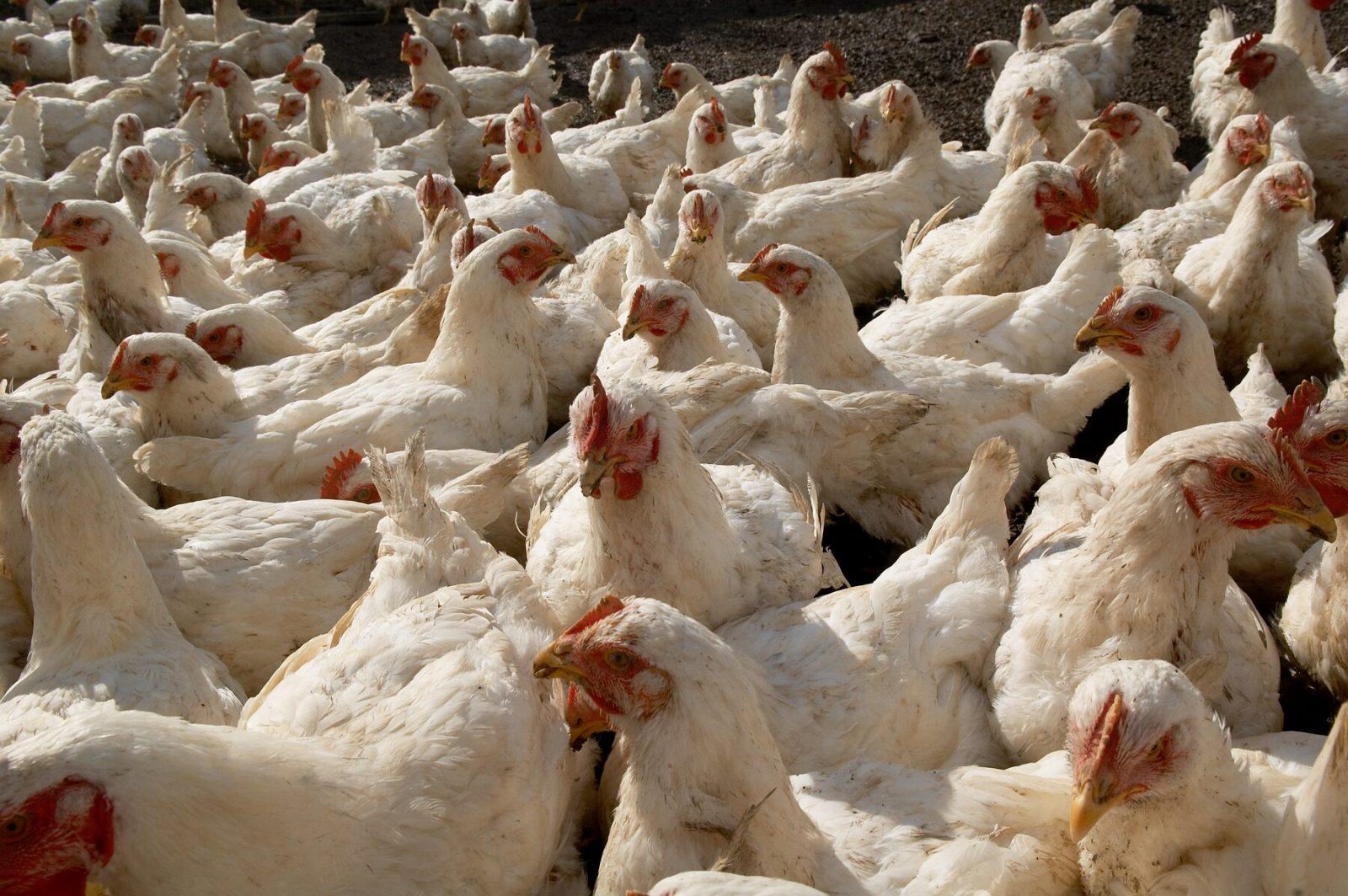 Chickens at Farm Sanctuary