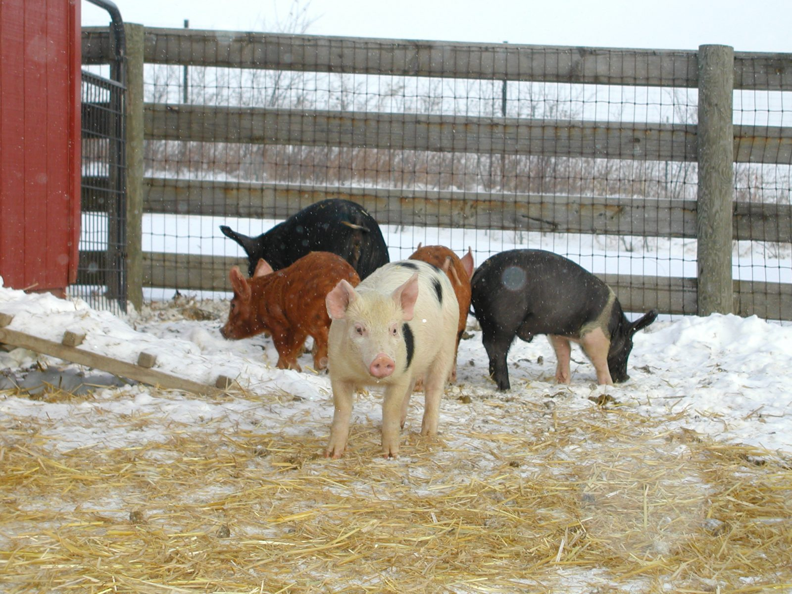 Pigs in the snow at Farm Sanctuary