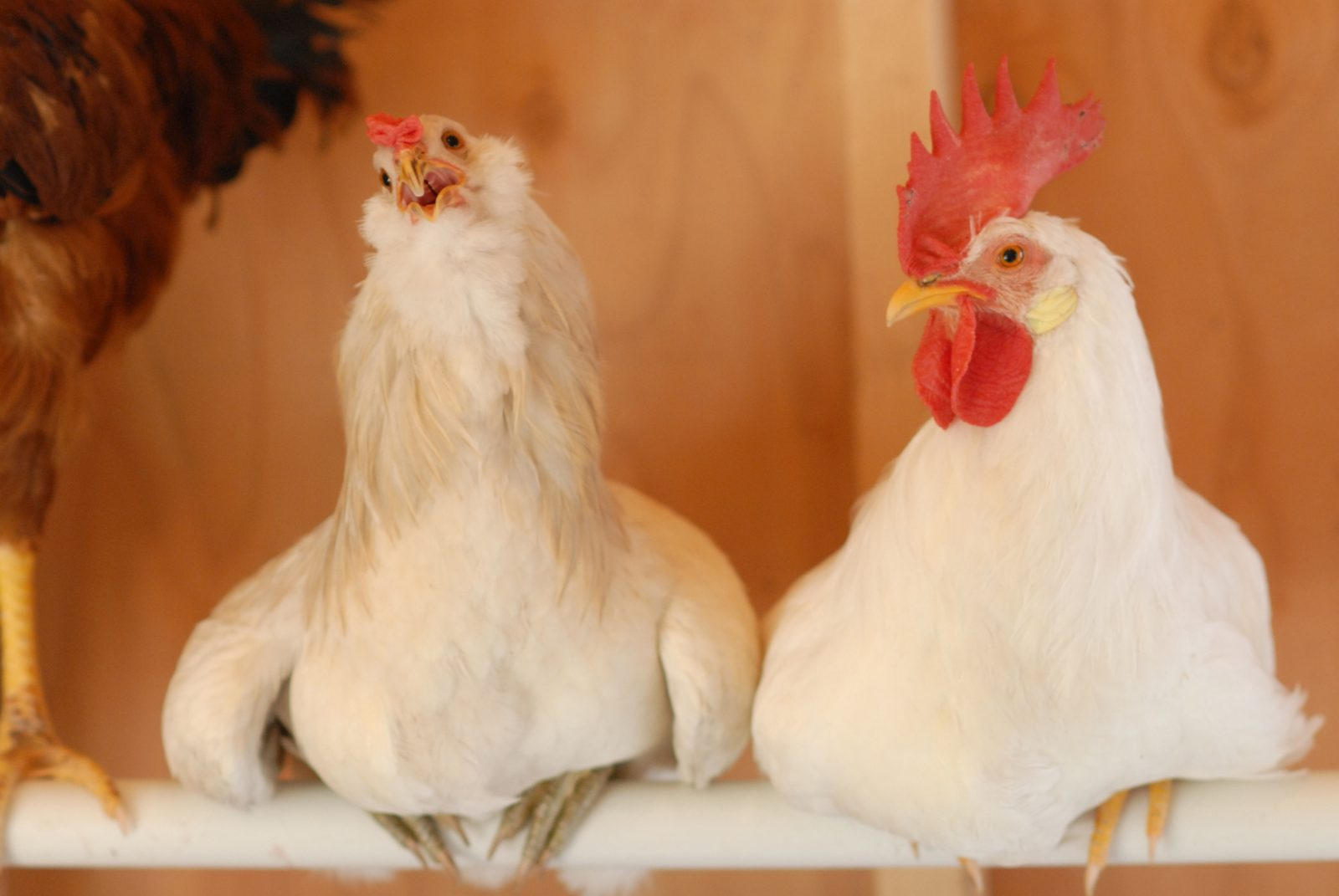 Roosters resting in their coop