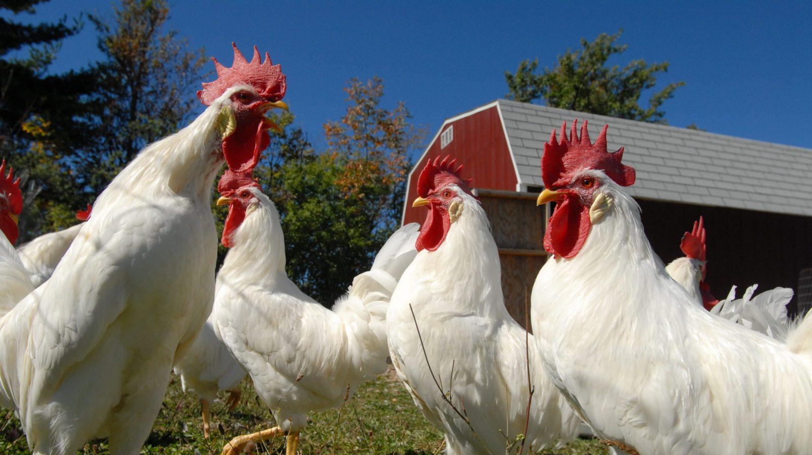 Chickens outside barn at Farm Sanctuary