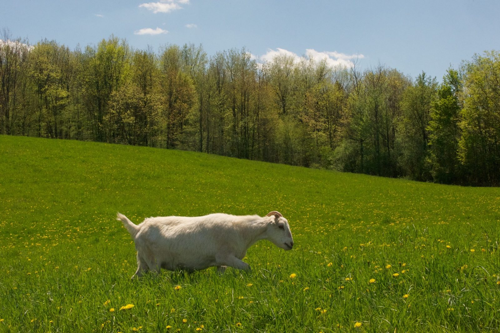 A goat named Dorothy in a field