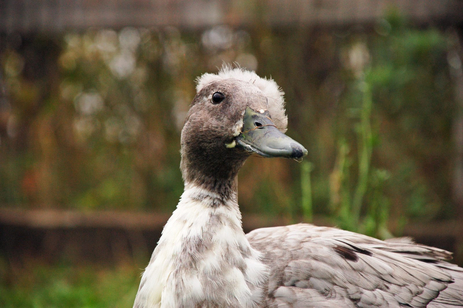 Olivia duck