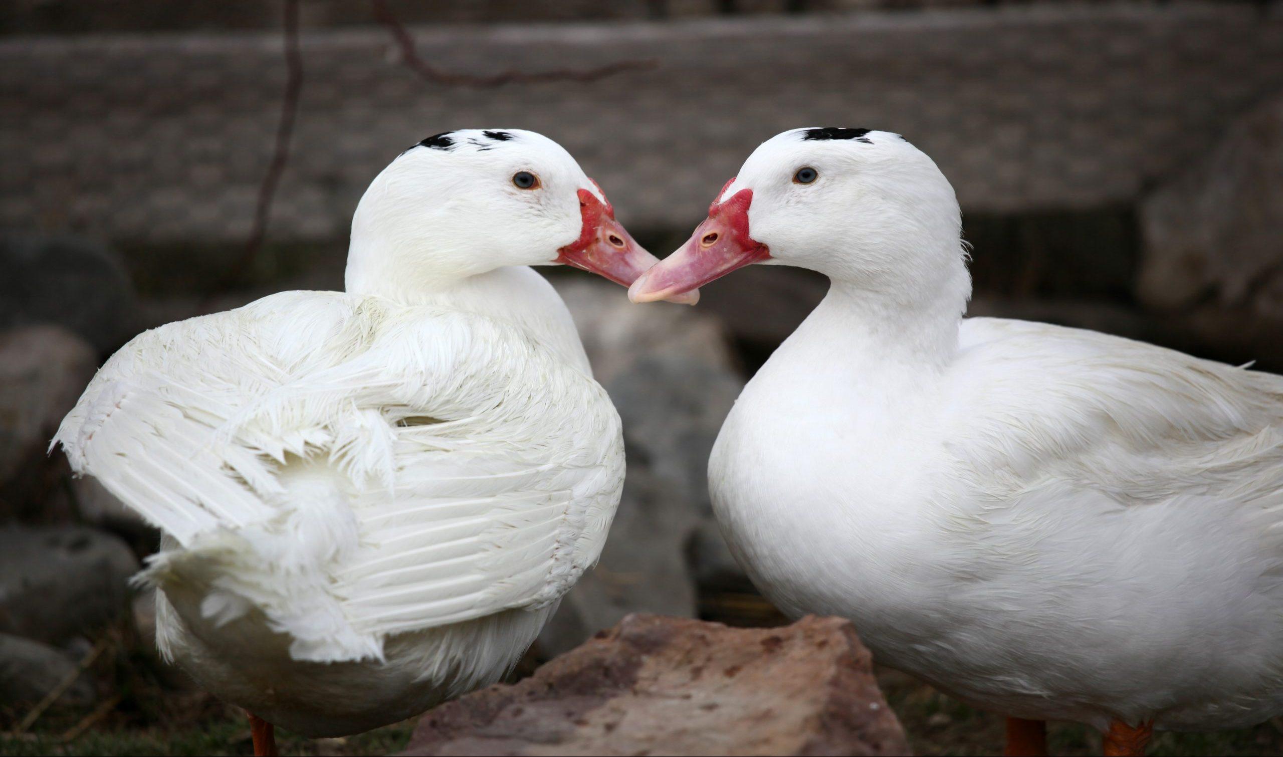 Monet and Matisse ducks