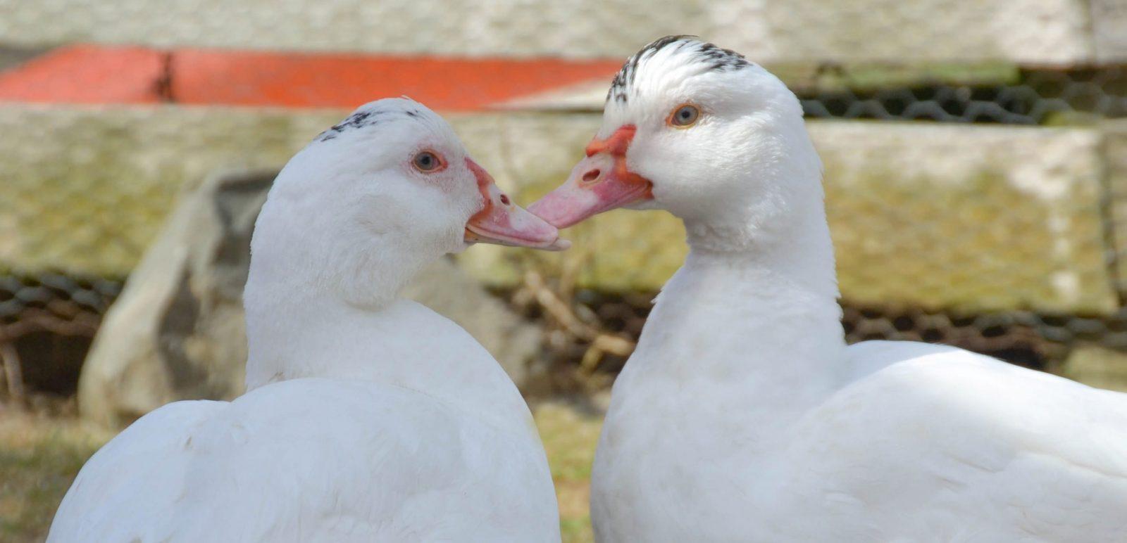 Alicia and Amelie ducks at Farm Sanctuary