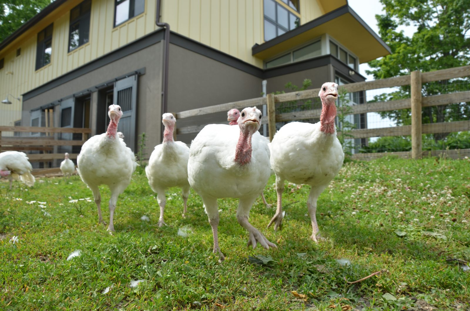 Turkeys at Farm Sanctuary