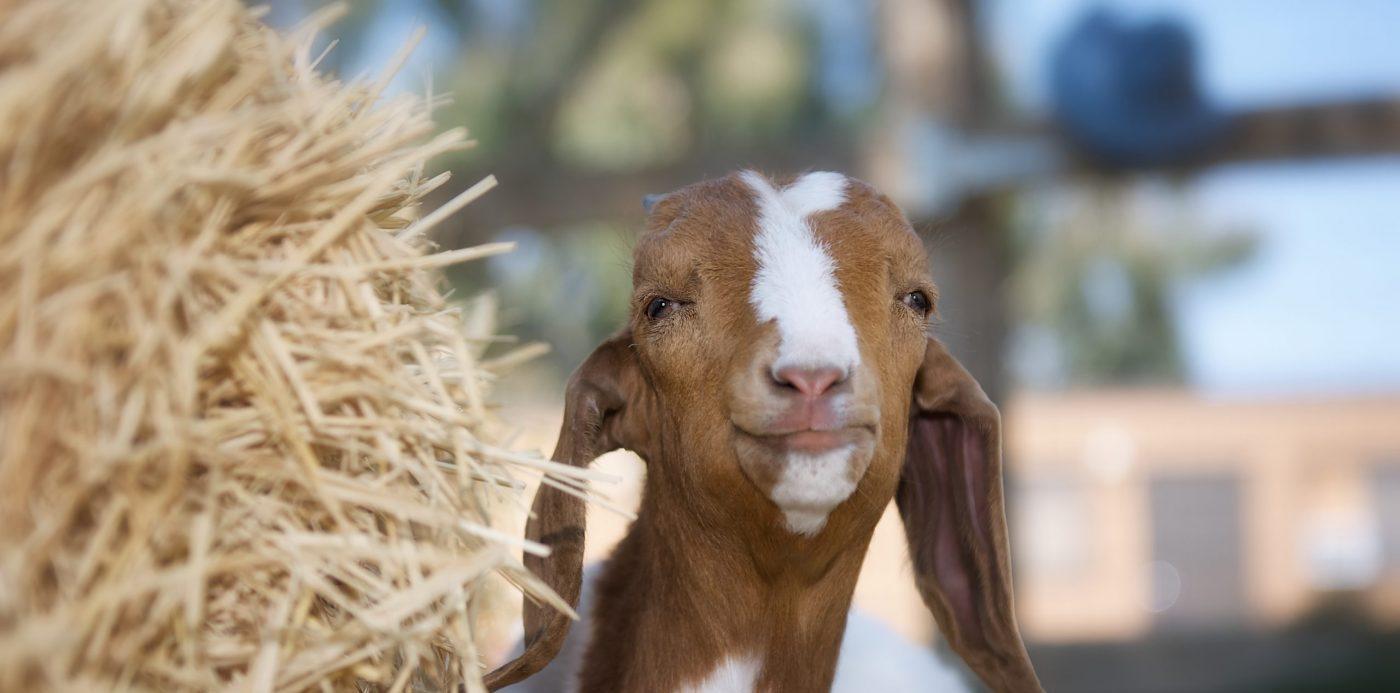 Totes goat at Farm Sanctuary