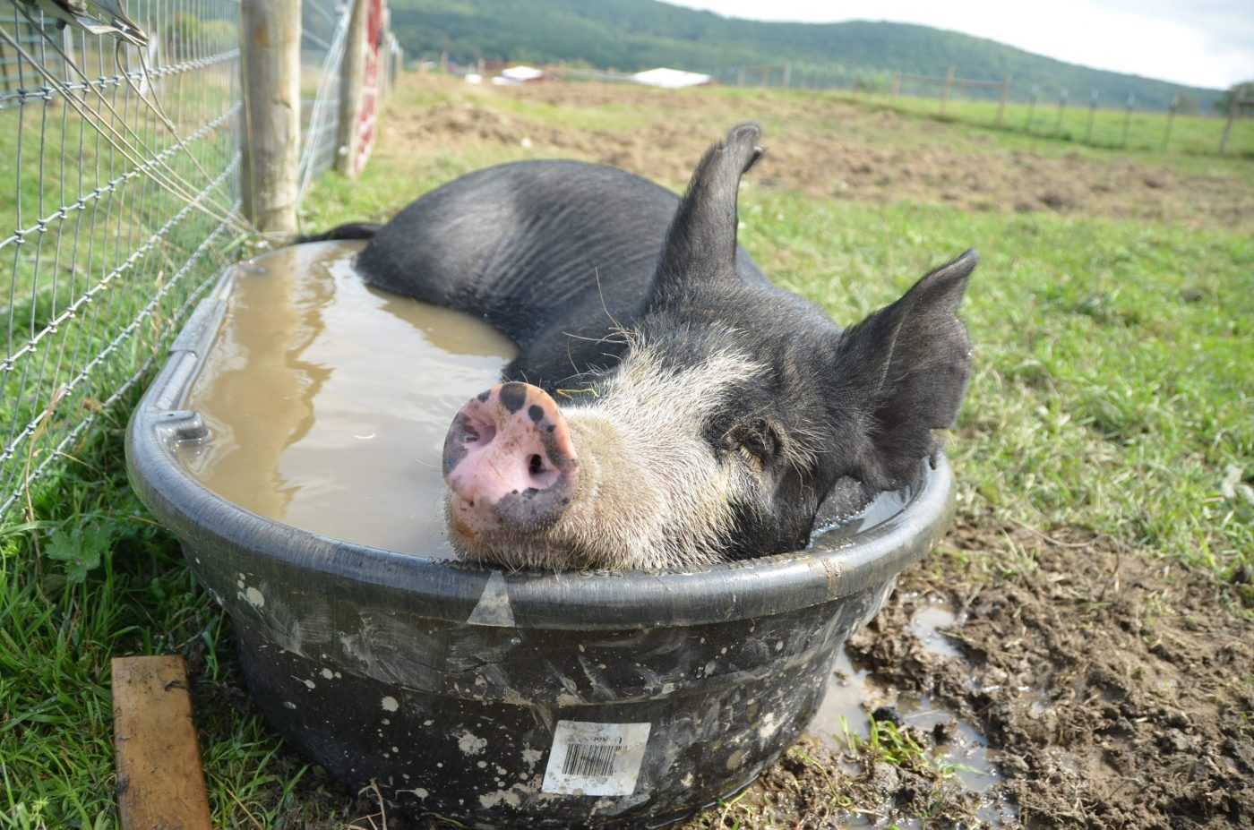 Pig laying in the water at Farm Sanctuary
