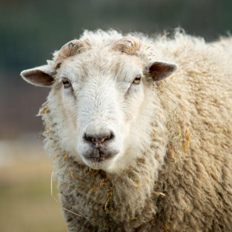 Liam sheep at Farm Sanctuary