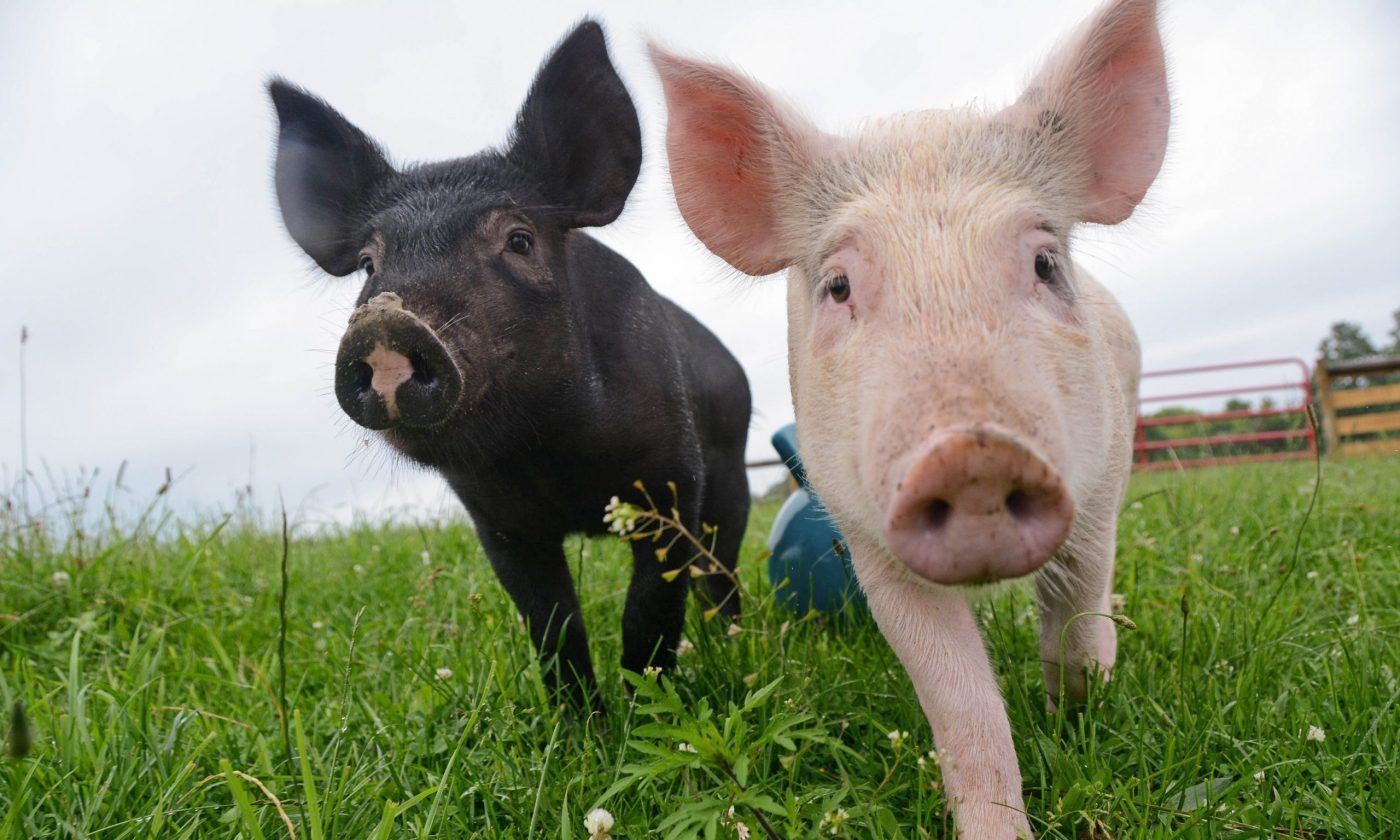 Anna and Maybelle pigs at Farm Sanctuary