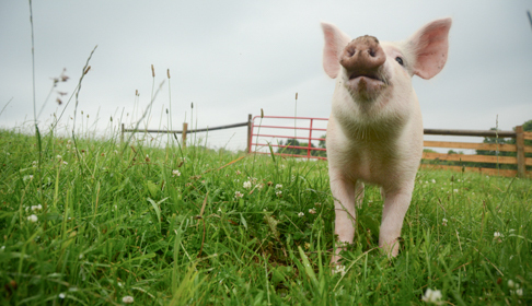Rescue pig Maybelle