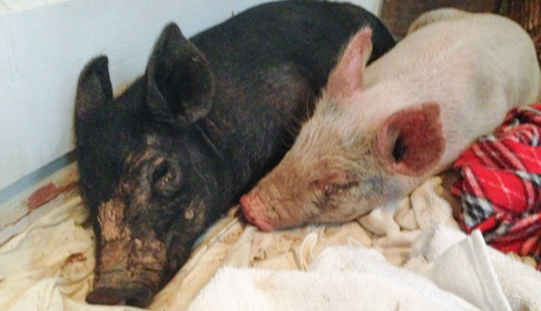 Maybelle and Anna pigs after being rescued from the roadside