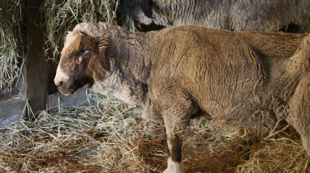 Laverne Sheep at Farm Sanctuary