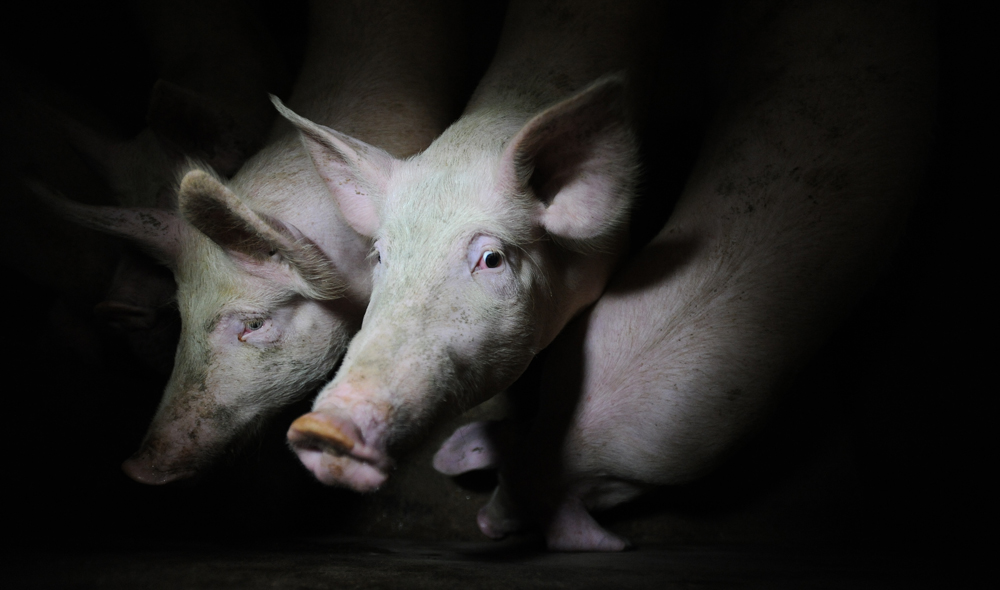 Pigs on a factory farm / Photo: Jo-Anne McArthur