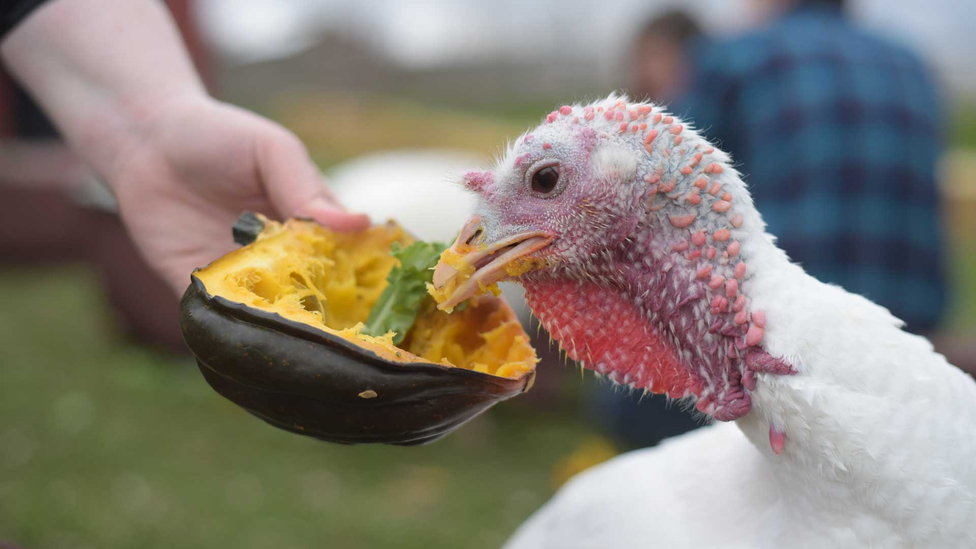 Turkey eating a tasty snack at Farm Sanctuary's Celebration for the Turkeys