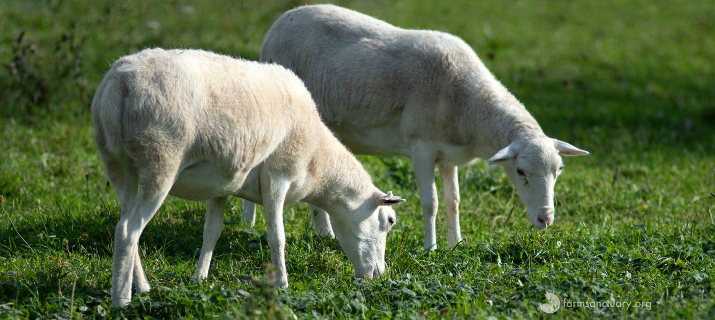 Gilmore Girls Sheep