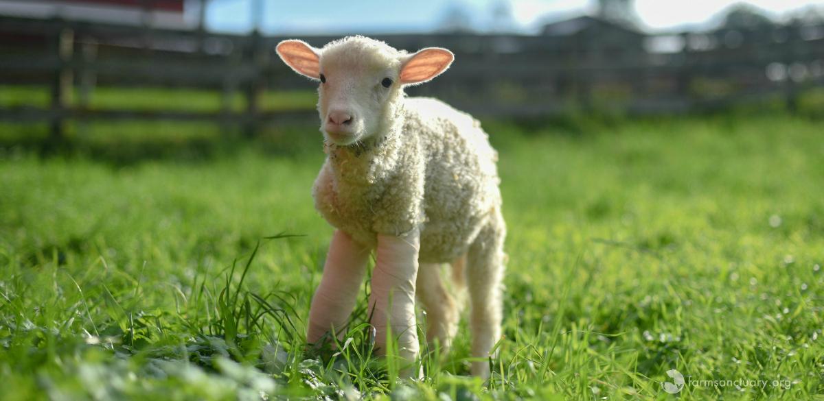 Sophie lamb on grass