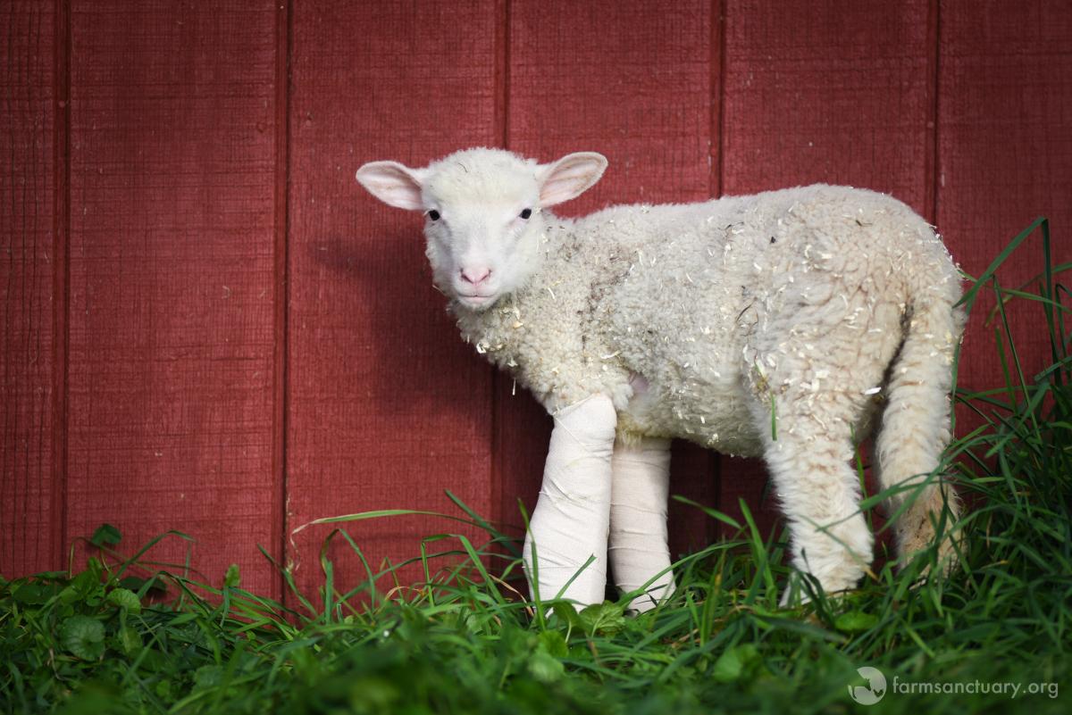 Sophie lamb at Farm Sanctuary