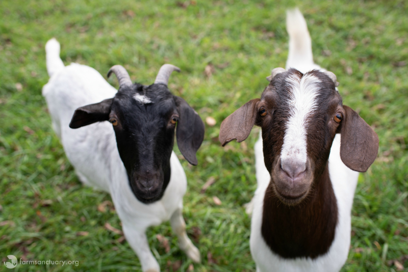 Taylor and Reiman goats standing in grass