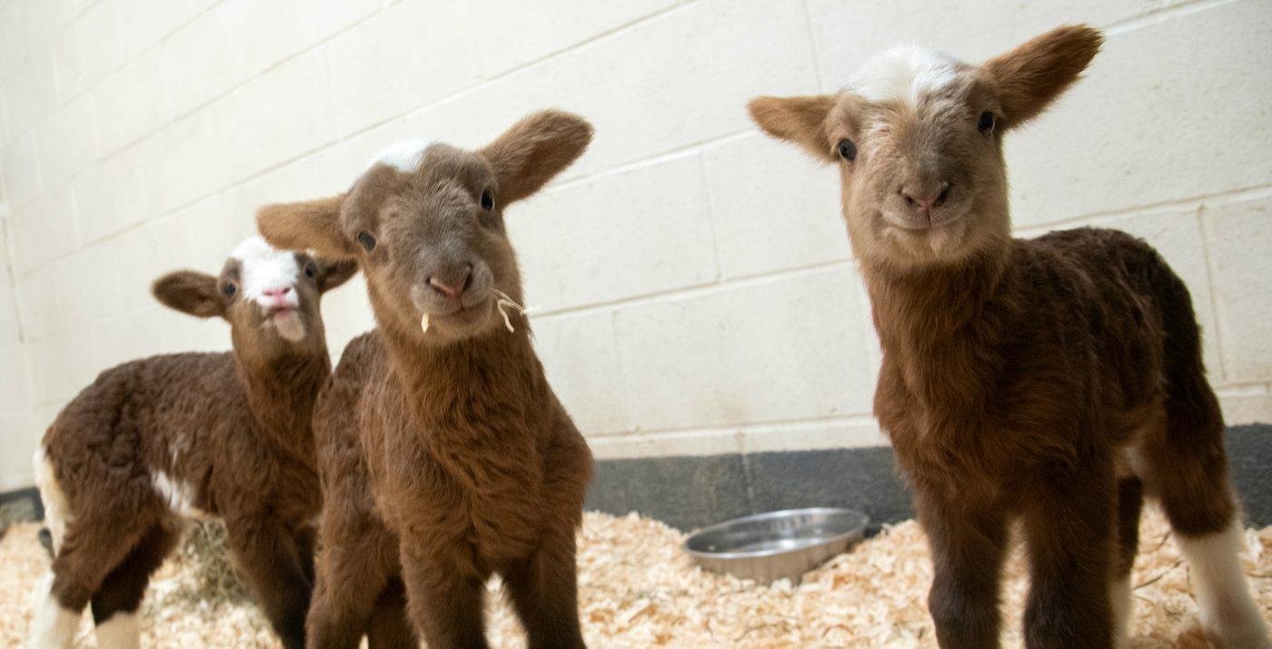 Kevin, Harley, and Quinn lambs