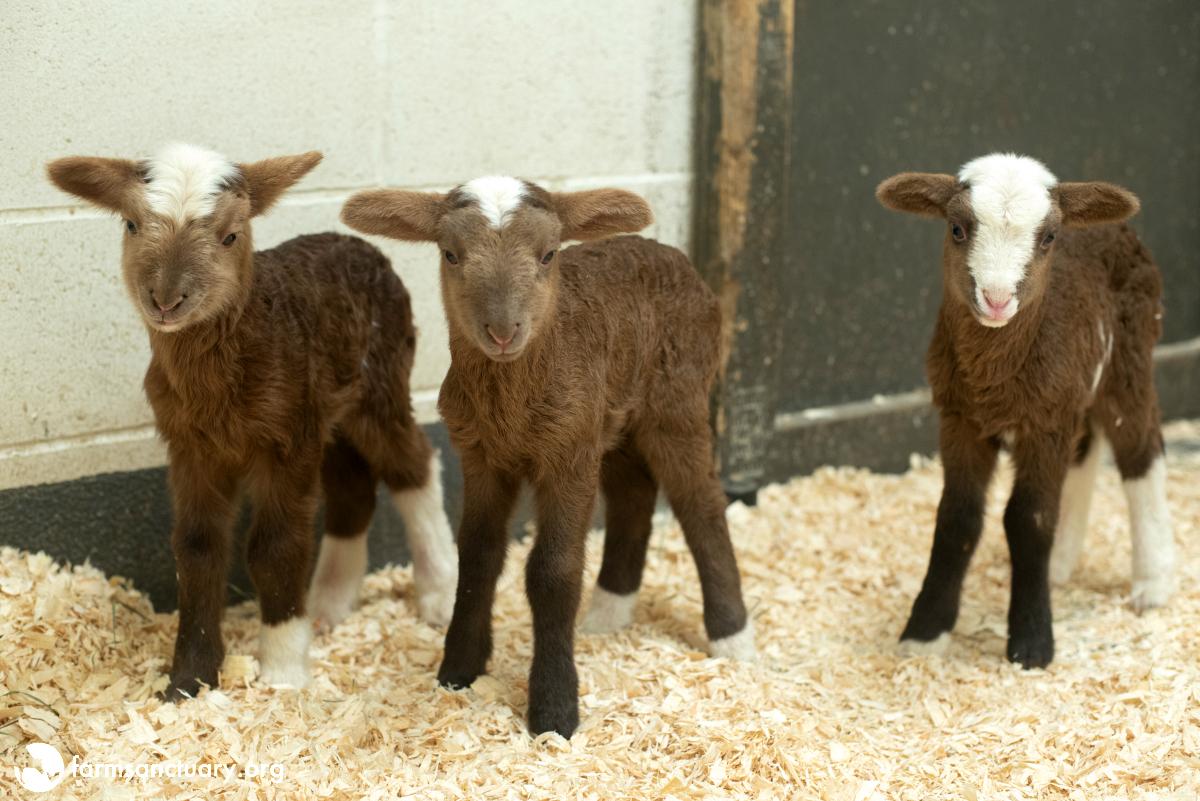Lamb triplets