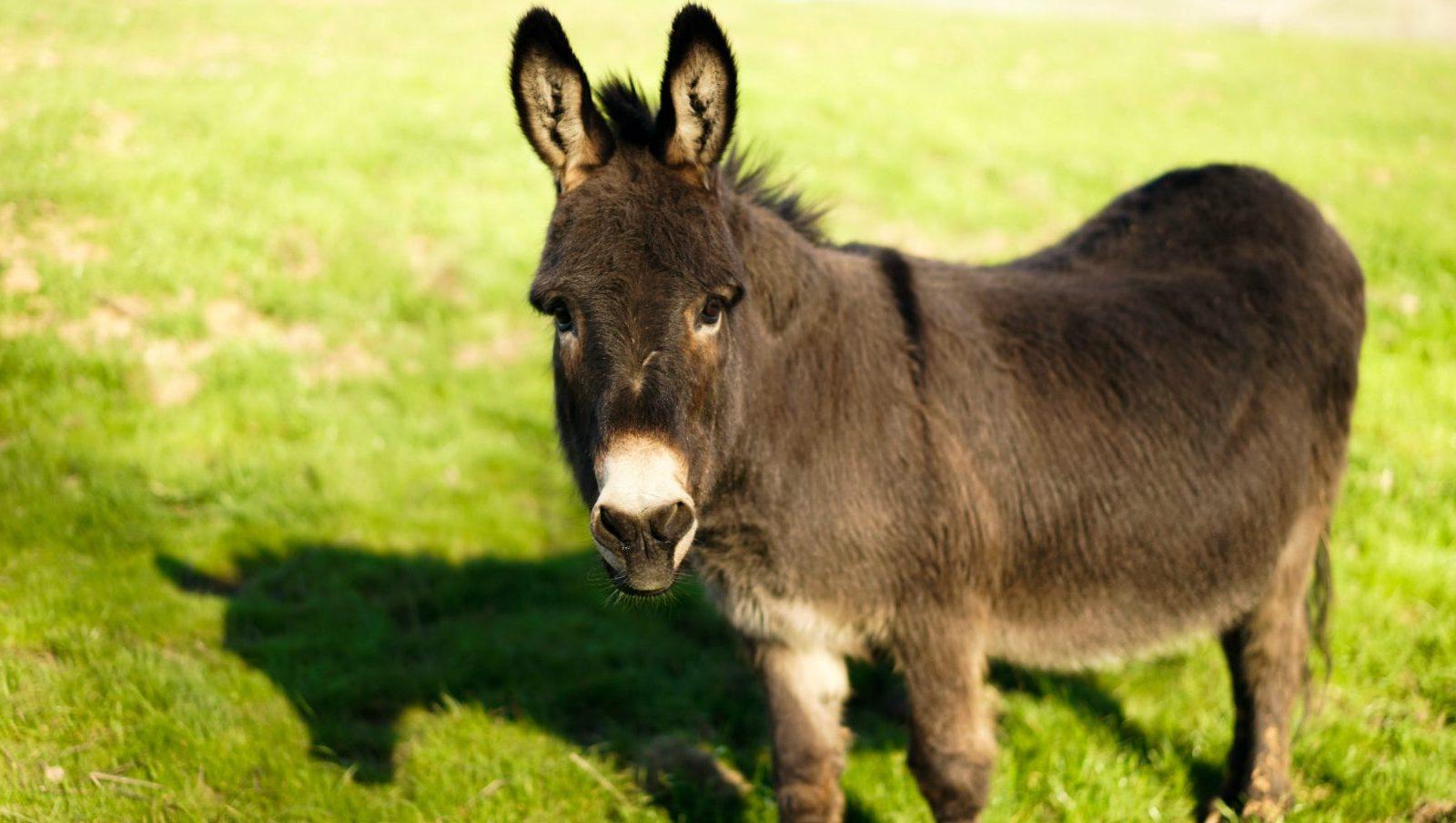 Albert Donkey