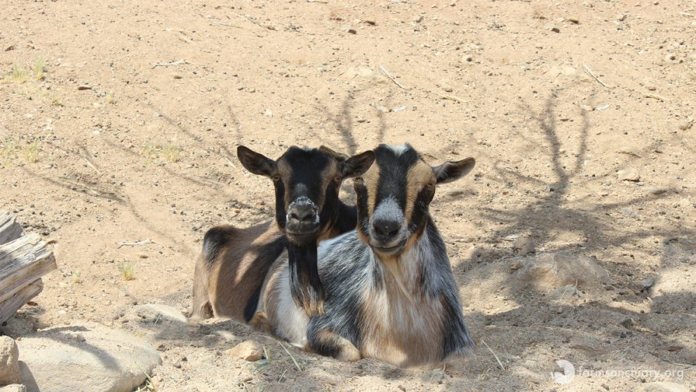 Cali and Freddy goats