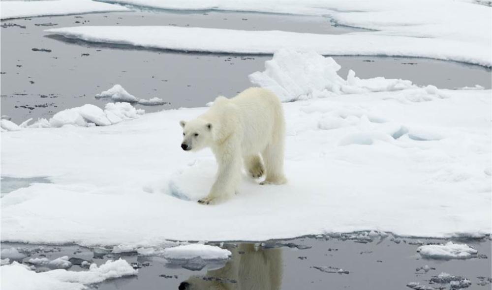 Vertical explainer photo 2 - Polar Bear standing on ice