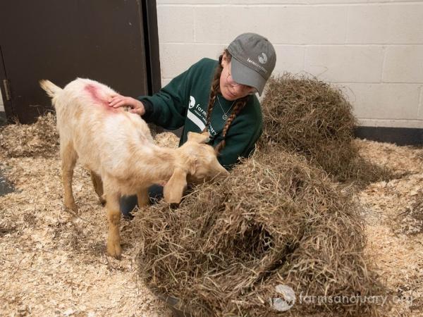 Alondra goat