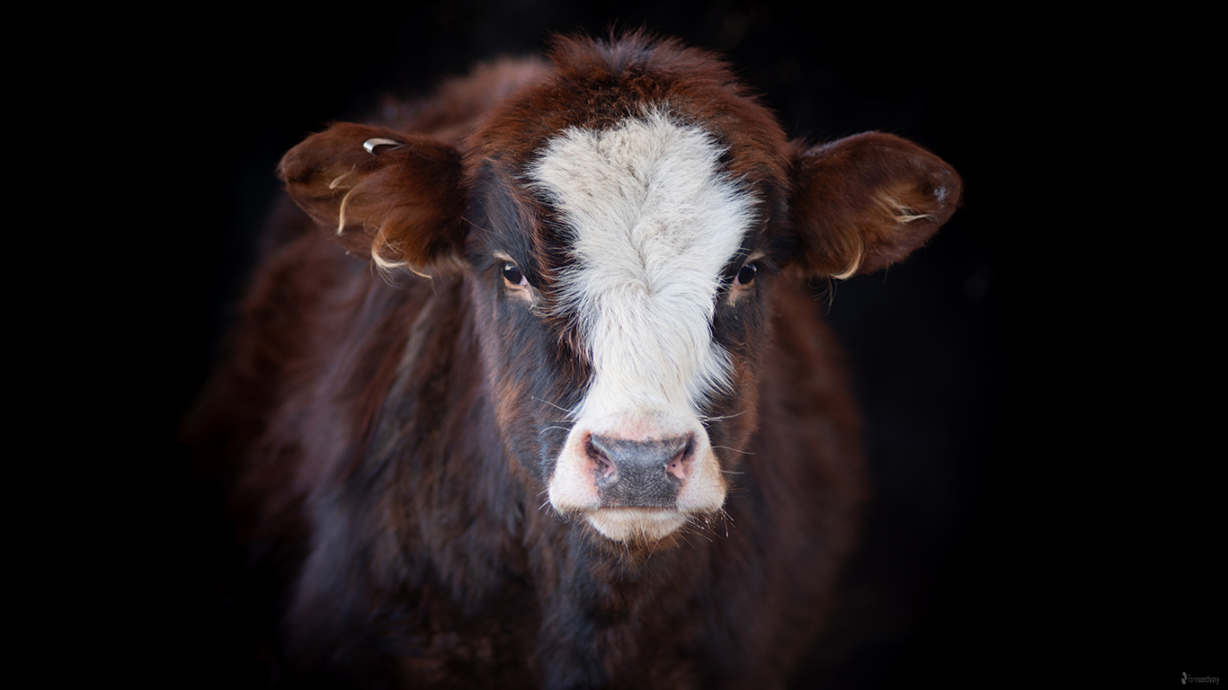 Finn Calf Steer at Farm Sanctuary