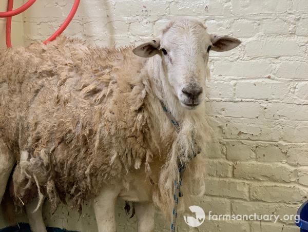 Office Cal Sheep