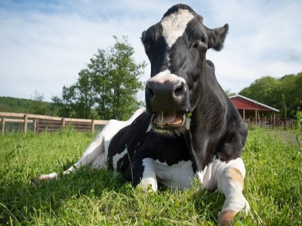 Princess cow