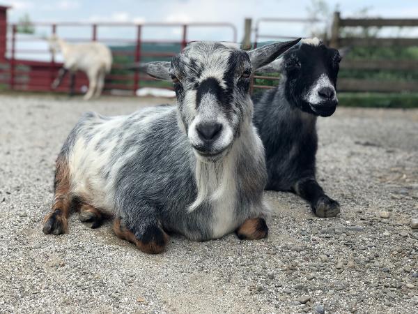 Archibald Salt and Earl of Pepper goats