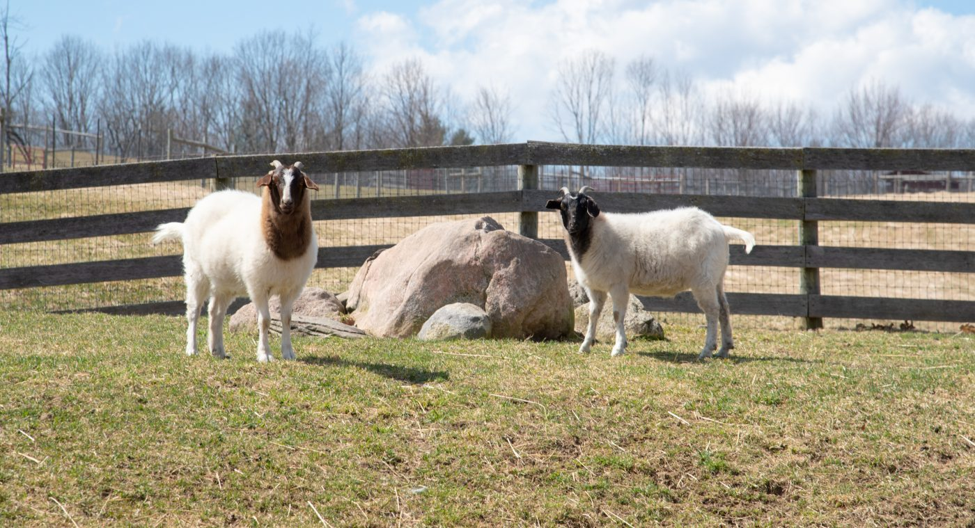 Taylor and Reiman goats