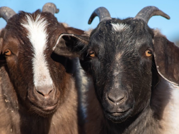 Reiman and Taylor Goats