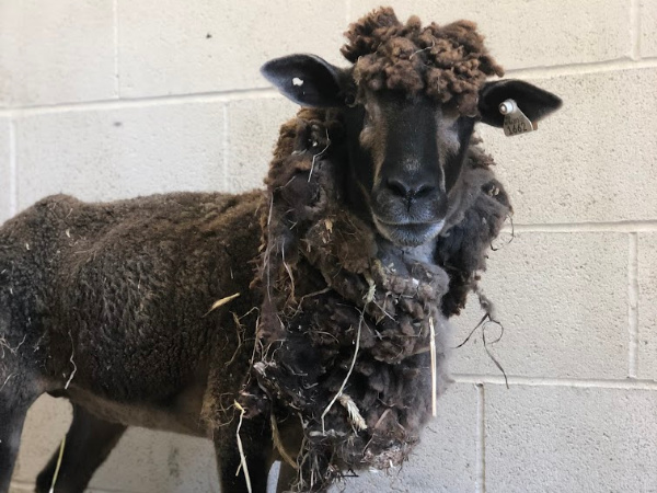 Holly Sheep