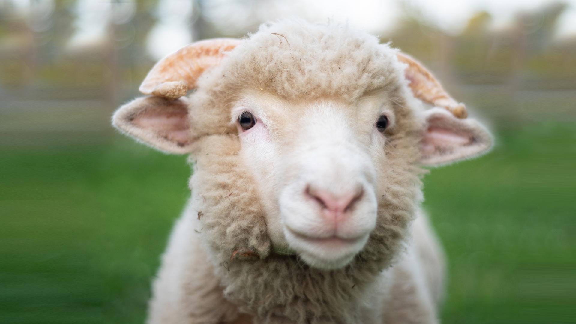 Boris lamb