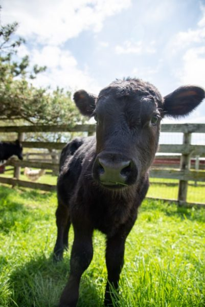 Forrest, as a calf, at Farm Sanctuary