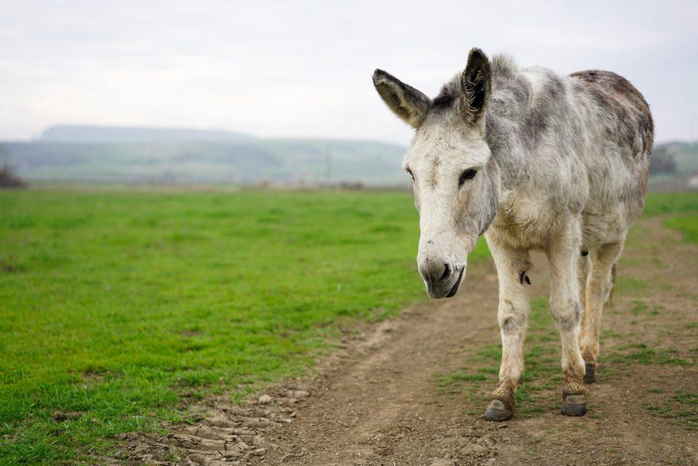 Waylon donkey