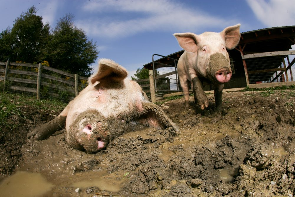 Sleepy and The Doctor pigs in the mud