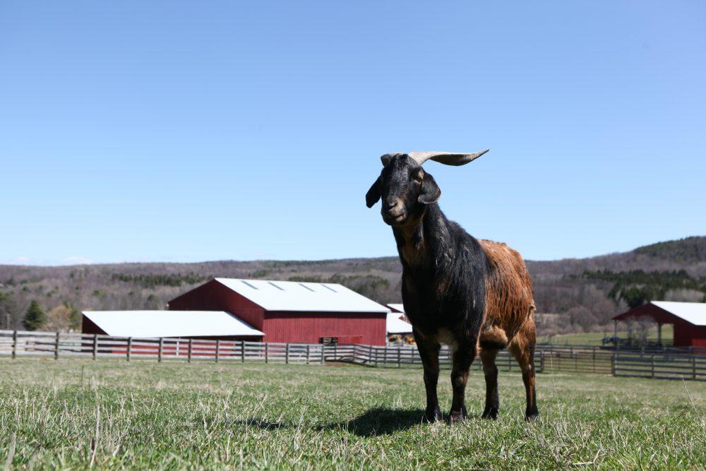 Leroy goat