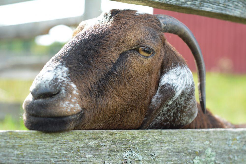 Dotty goat