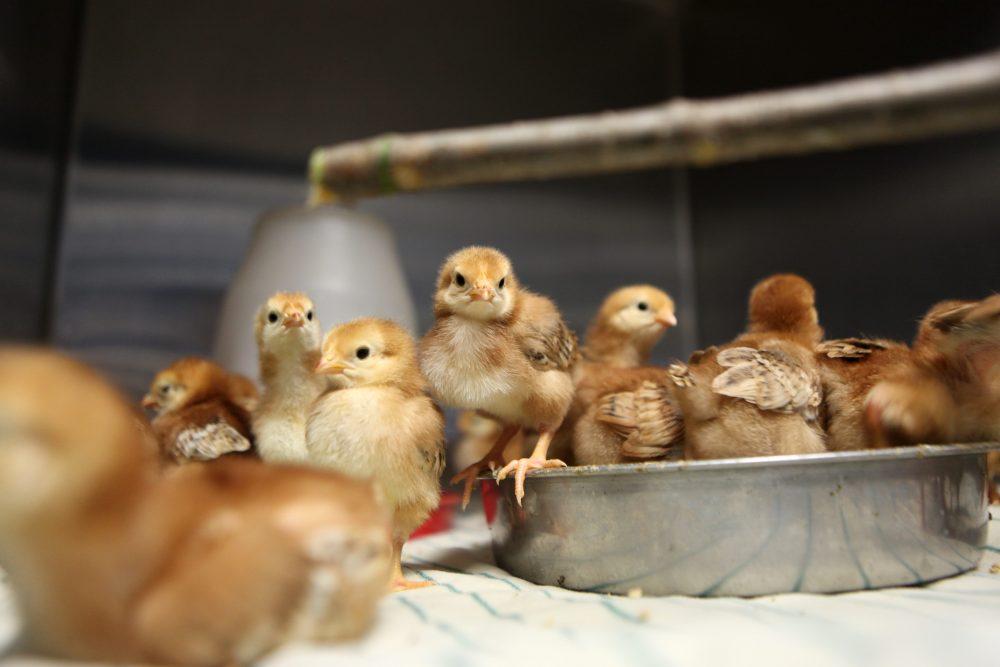 Baby chicks at Farm Sanctuary