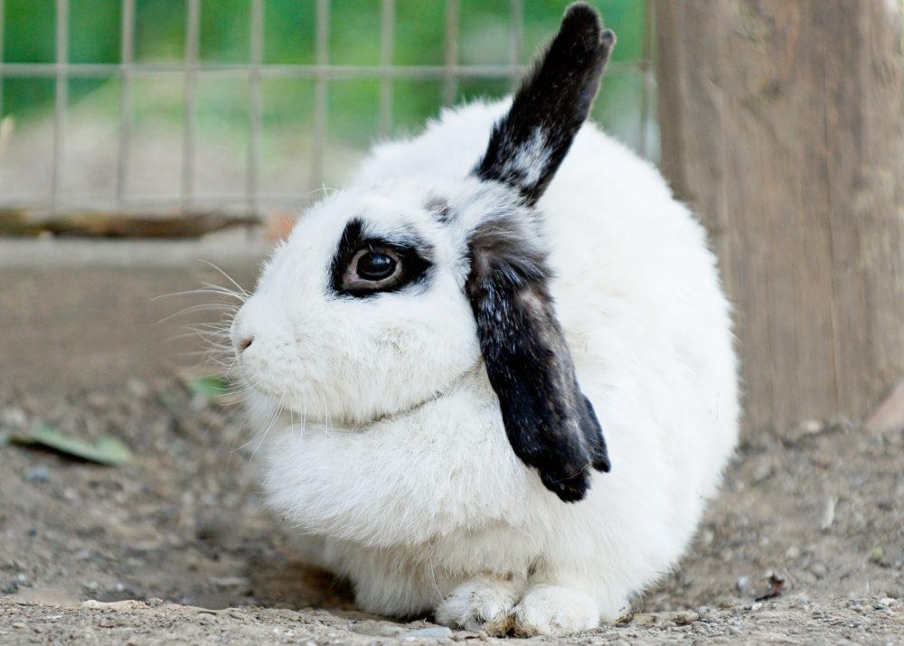 Shelley rabbit at Farm Sanctuary