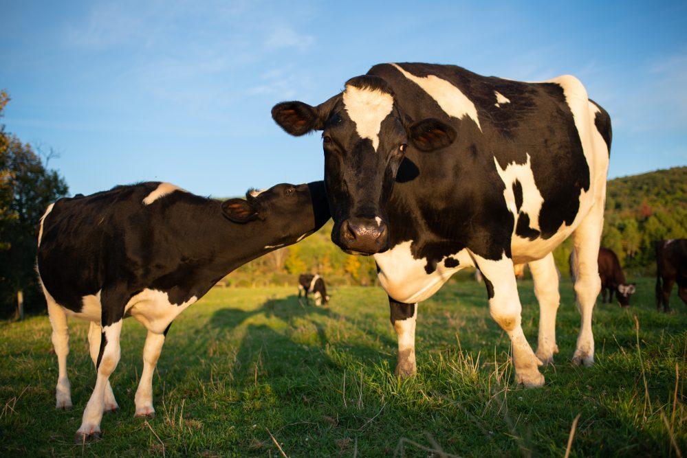 Daisy cow and Milbank cow at Farm Sanctuary