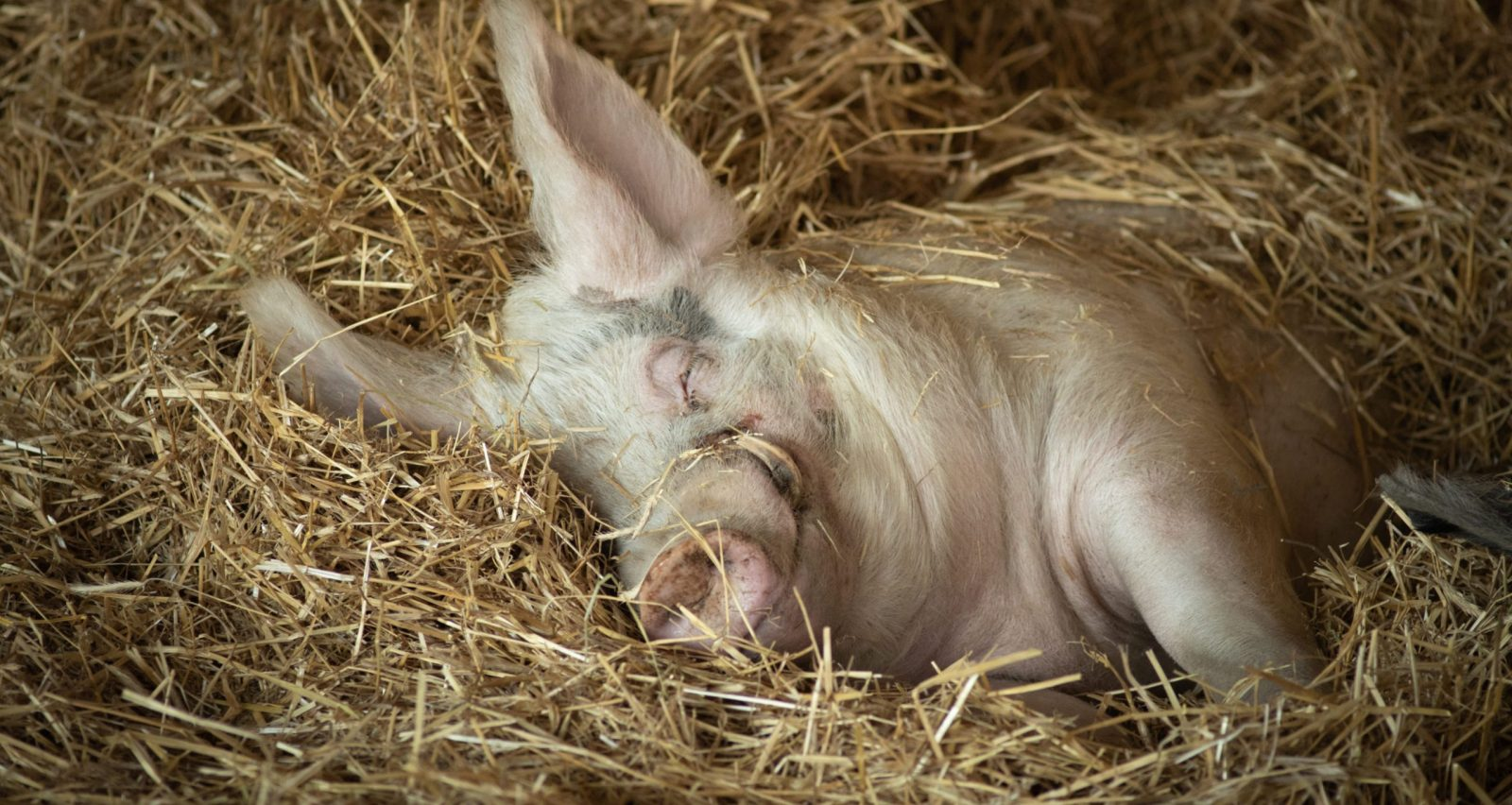 Andy pig in hay